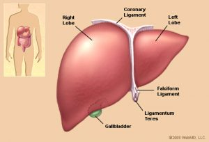 liver_illustration