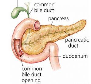 pancreas-duodenum
