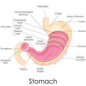 stomach-anatomy
